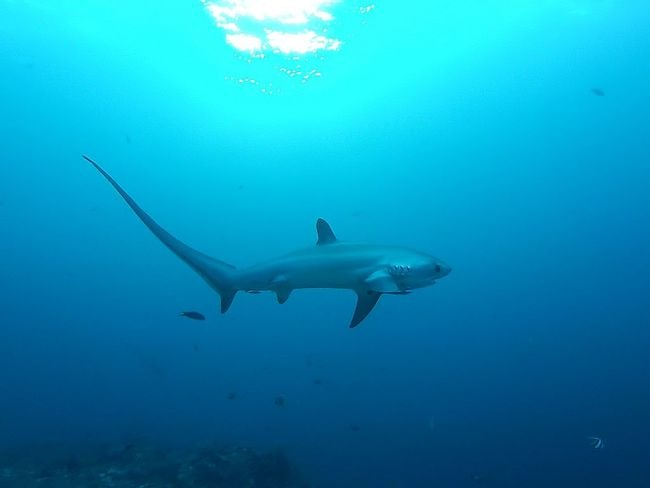 Thresher shark | © Thomas Alexander/Wikimedia Commons