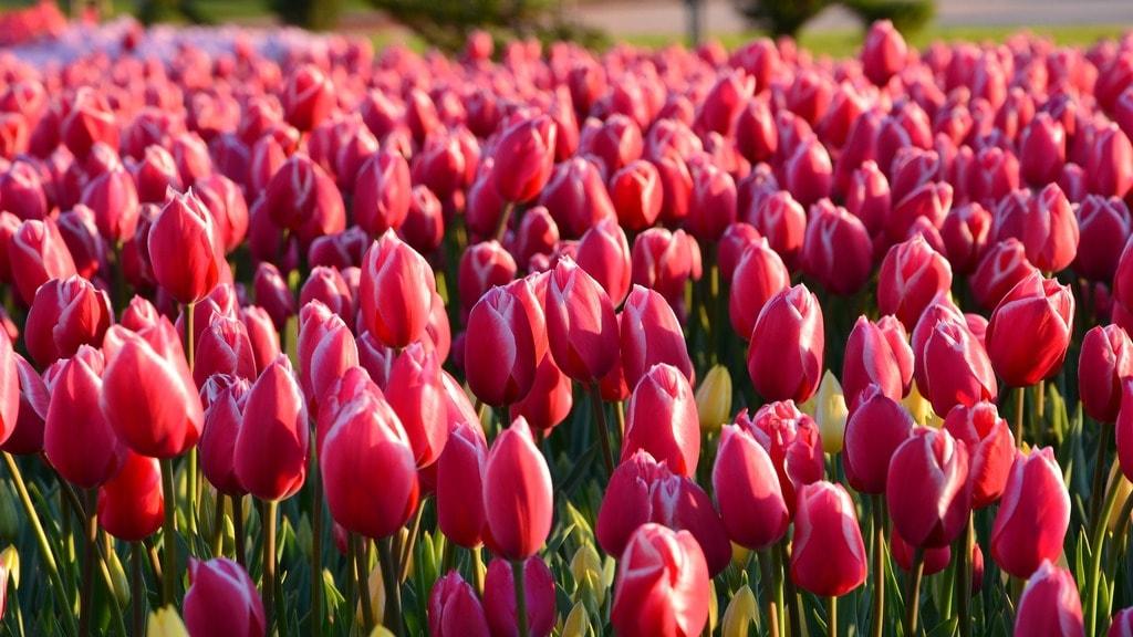 tulips-3251577_1920