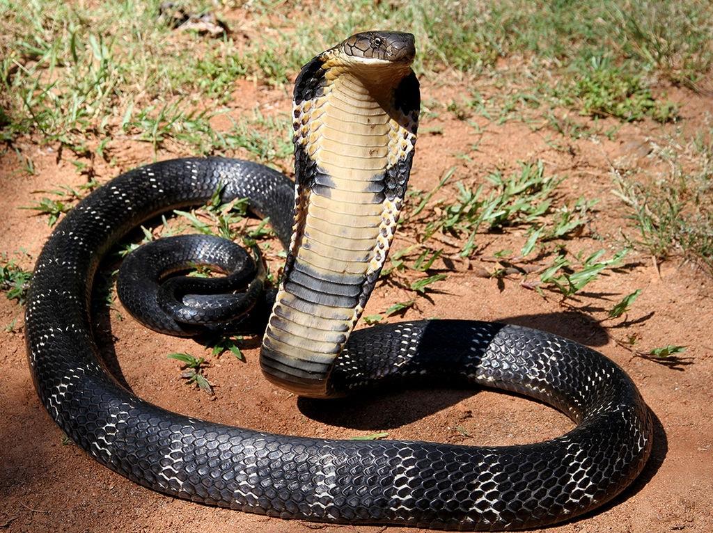 Hong Kong S 8 Most Venomous Snakes