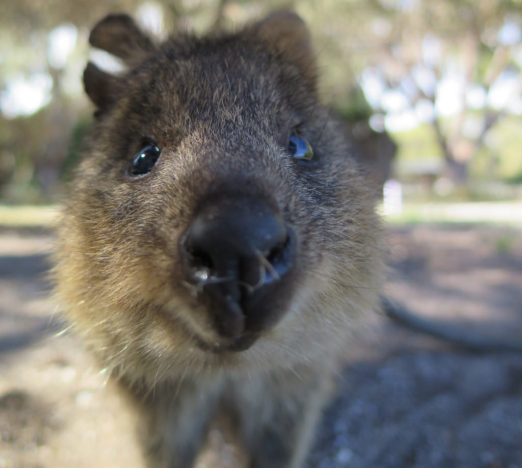 quokka  11 facts about australia u0026 39 s cutest animal