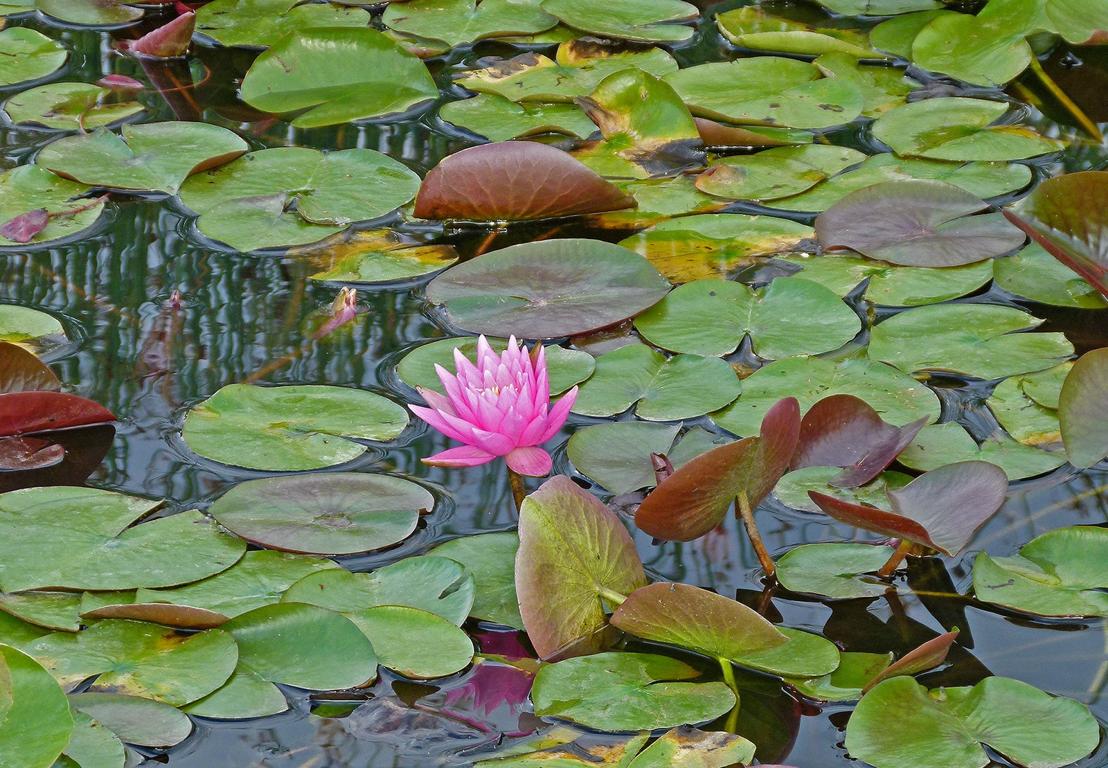 Lotus: 11 Facts About Vietnam\'s National Flower