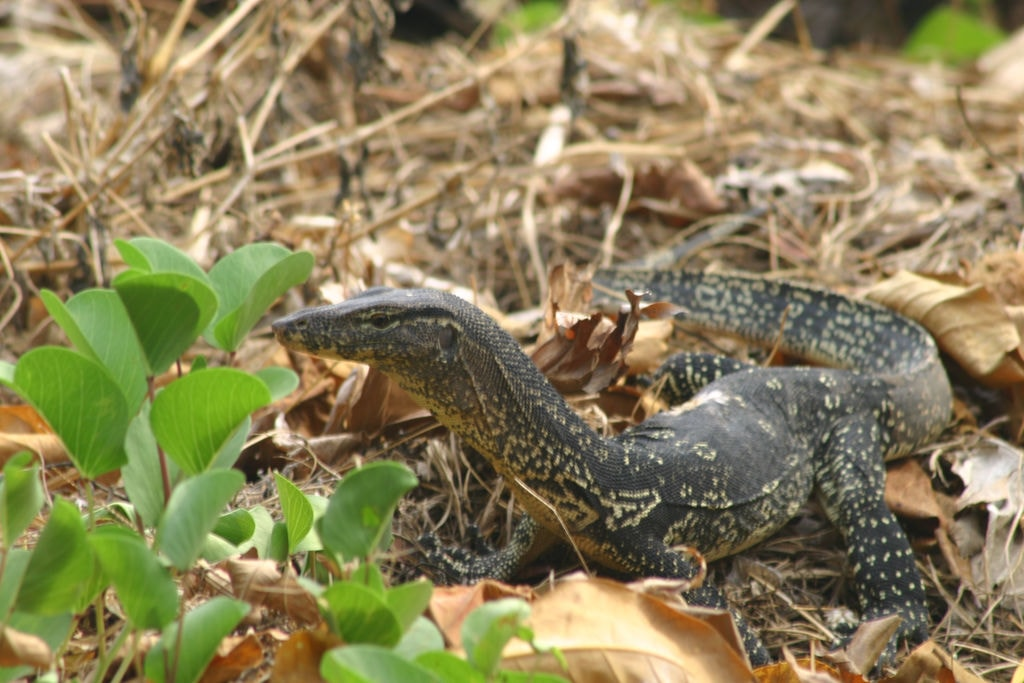 Why Does Thailand Hate Monitor Lizards?