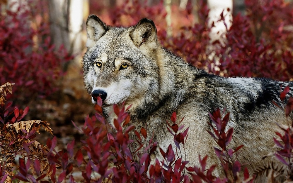 Gray Wolf 10 Facts About Serbias National Animal