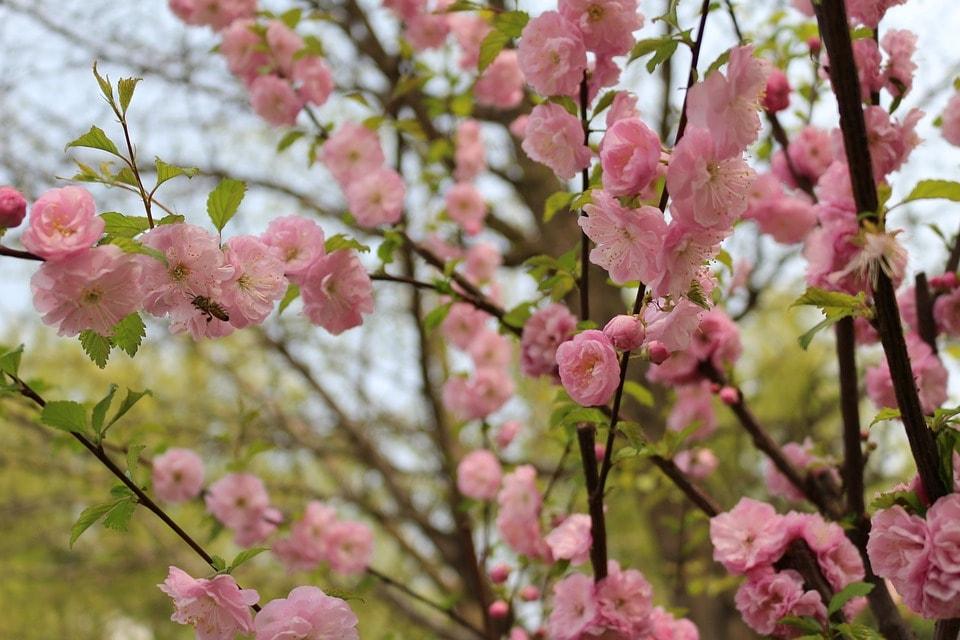 cherry-blossom-2224844_960_720