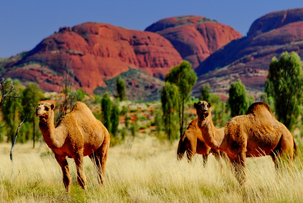 Did You Know There Are Wild Camels In Australia