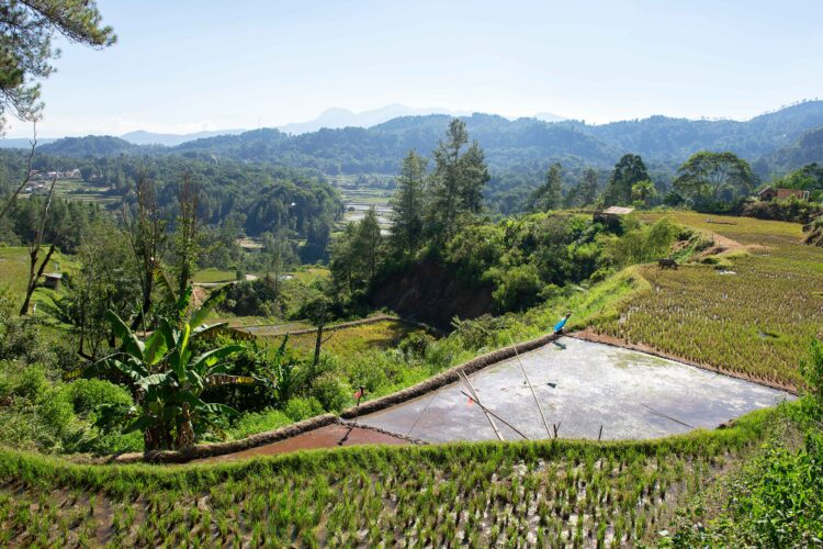 Green and brown rice terrace fields in Tana Toraja, South Sulawesi