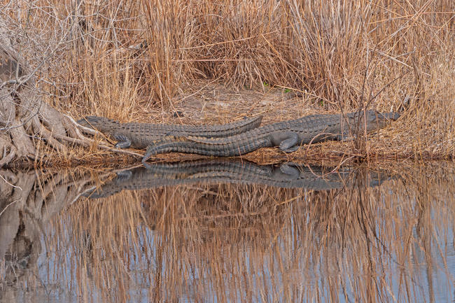 Alligators Basking along a Slow Moving Suwannee River in Stephen C. Foster State Park in the Okefenokee Swamp in Georgia