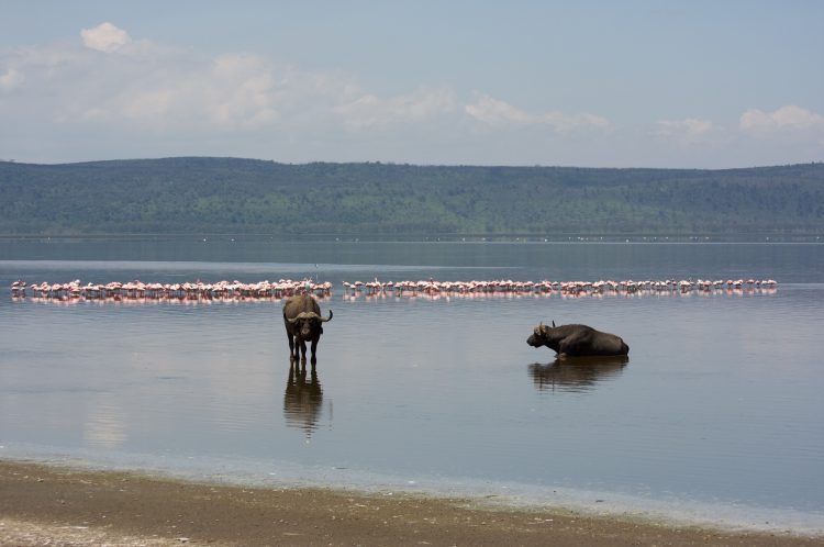 Buffalos and flamingoes at Lake Nakuru National Park, Kenya