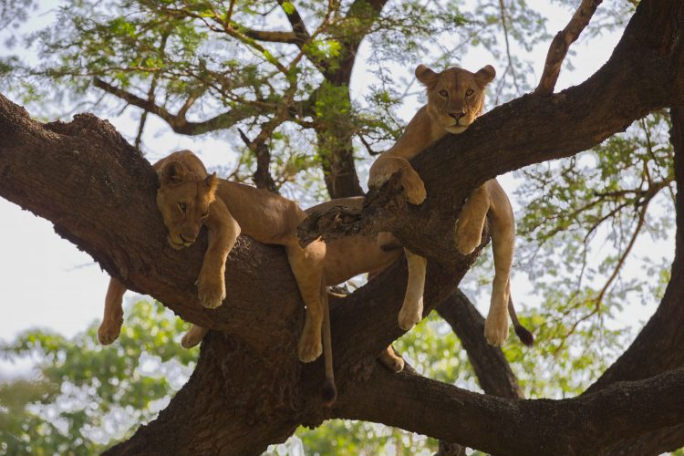 African Lion's resting in a tree, Lake Manyara National Park, Tanzania