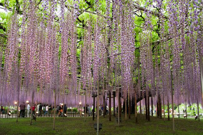 Wisteria Trellis of Ashikaga Flower Park, Tochigi, Japan. Image shot 05/2010. Exact date unknown.