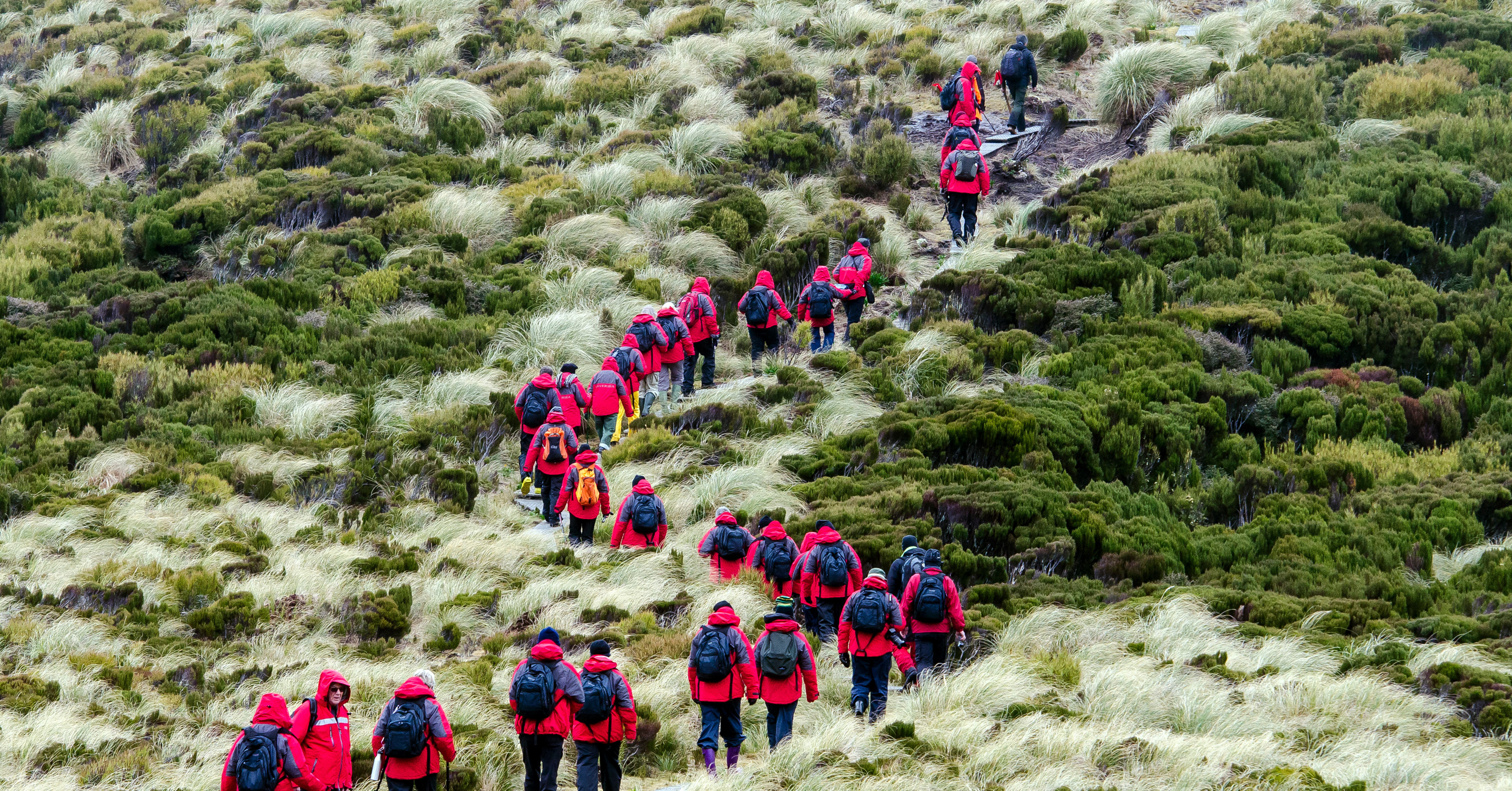 Line of tourists hiking in Campbell island New Zealand.