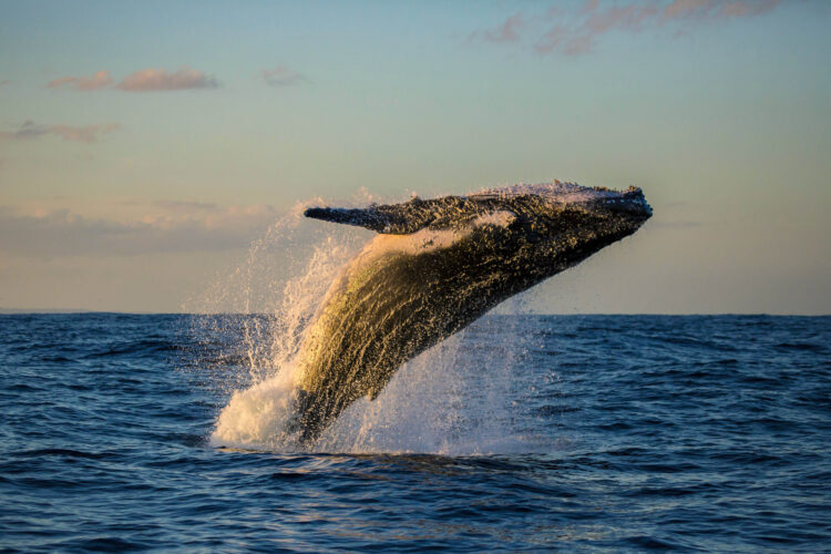 Golden light sunset humpback whale breach, Sydney, Australia