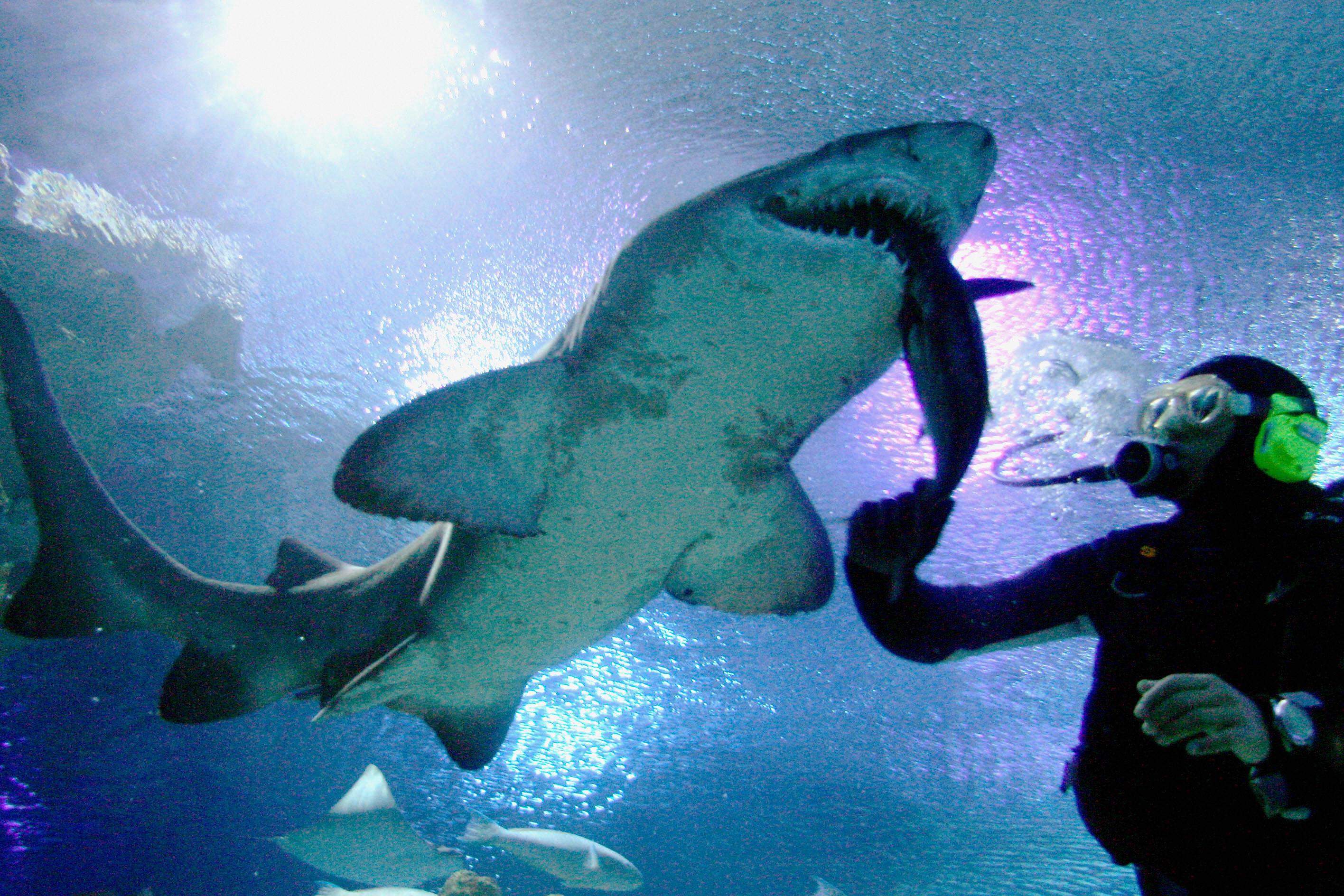 A diver feeds a shark at the Aquarium in