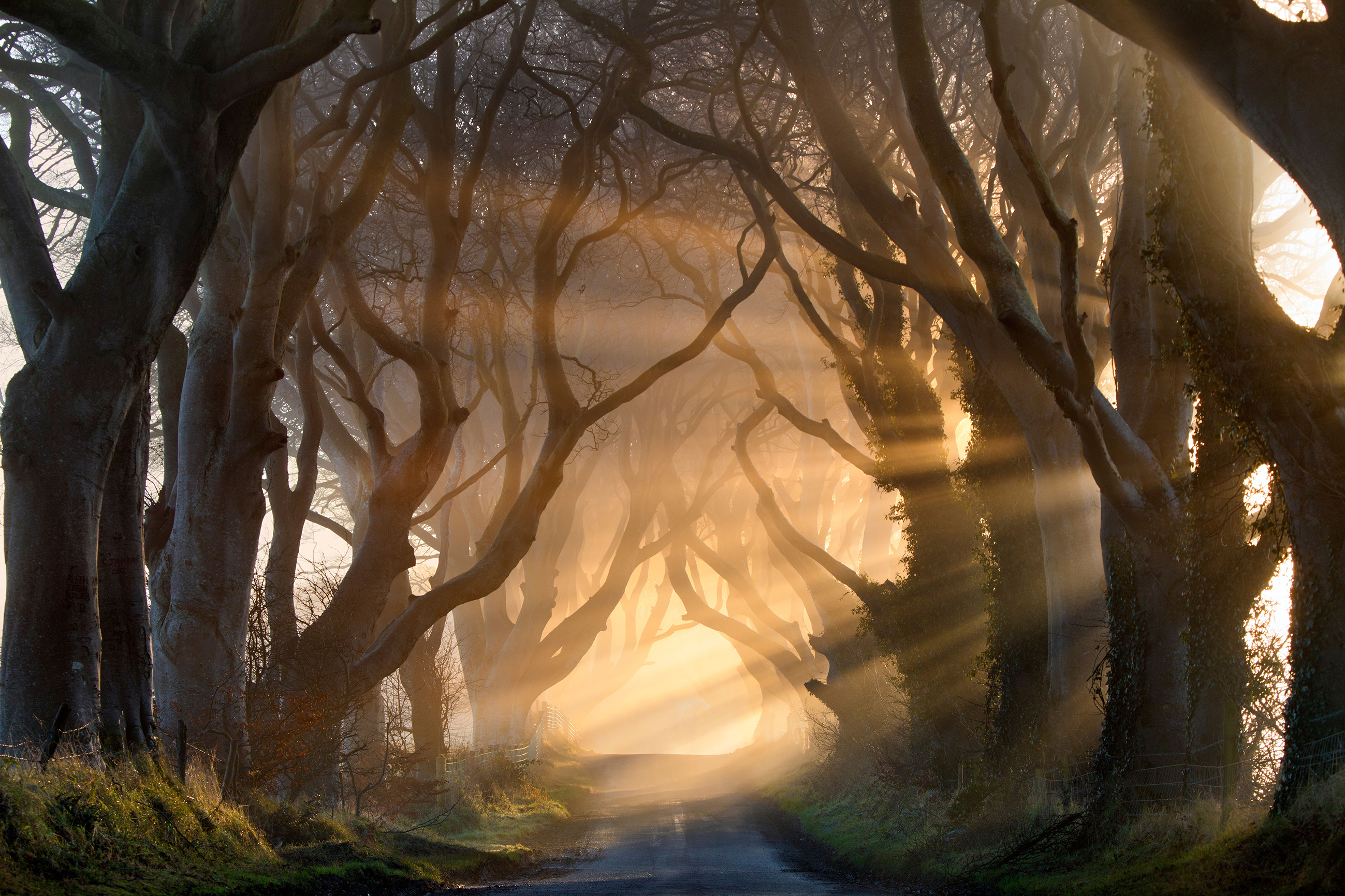 Morning light illuminate the avenue tree's  known as the Dark Hedges in Northern Ireland.