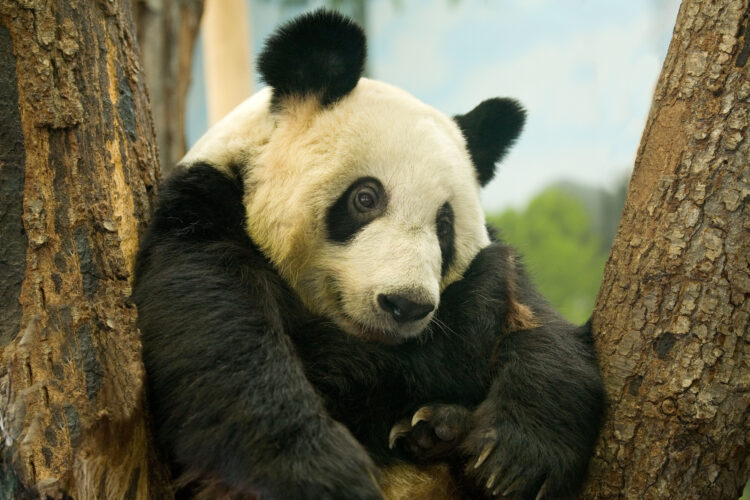 Giant panda in Memphis Zoo, Tennessee. Image shot 2007. Exact date unknown.